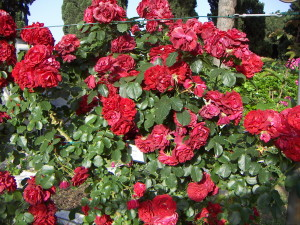 Rome Rose Garden - Italy's Best Rome
