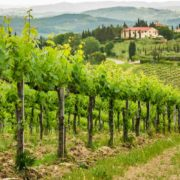Tuscany wine tour- vineyards