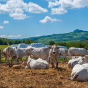 Chianina cows in Tuscany, providers of Florentine steak